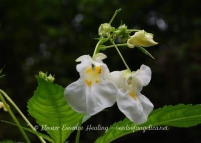 白花のツリフネソウ