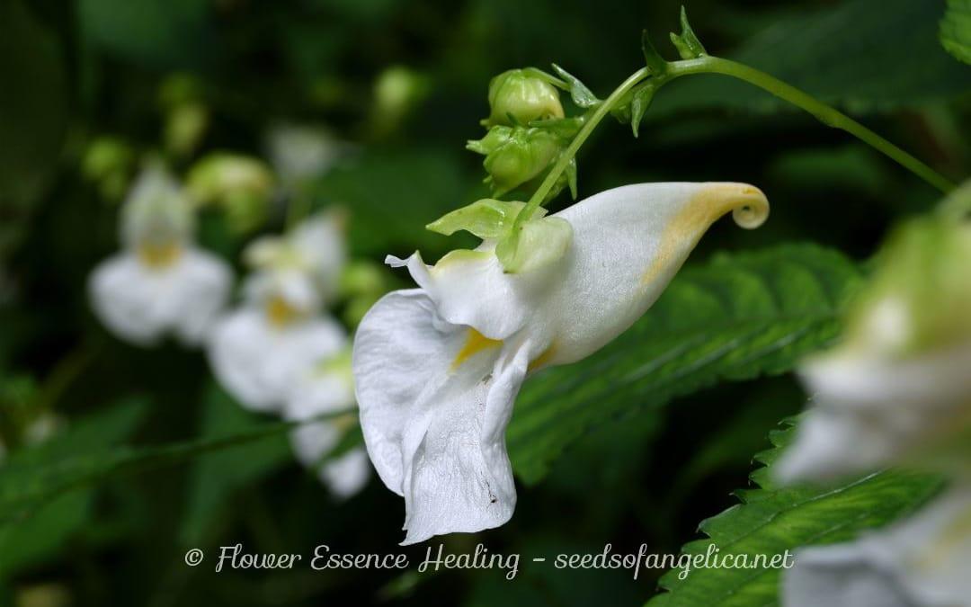 ツリフネソウ(Impatiens textori)の花のつくり