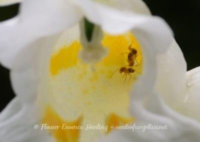 ツリフネソウ(白)の花の内部