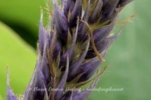 クズ(Pueraria_montana)