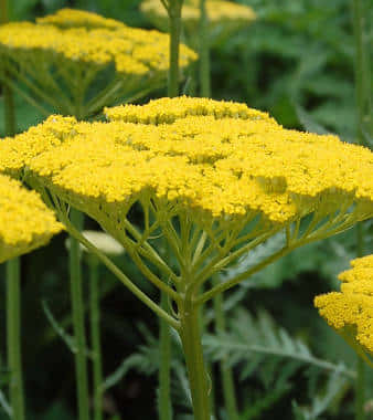 Golden Yarrow