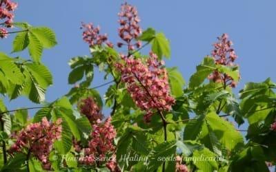 ベニバナトチノキ(レッドチェスナット)の冬芽と花