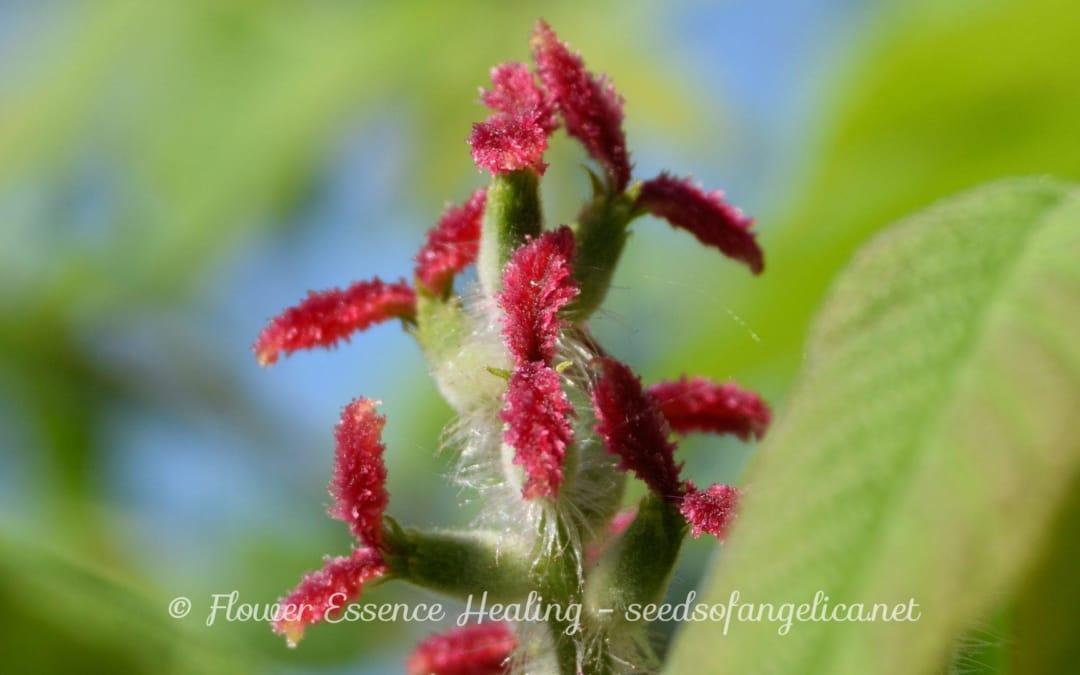 オニグルミの花