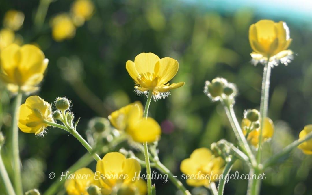バターカップの仲間:ウマノアシガタ(Ranunculus japonicus)と夕方の光