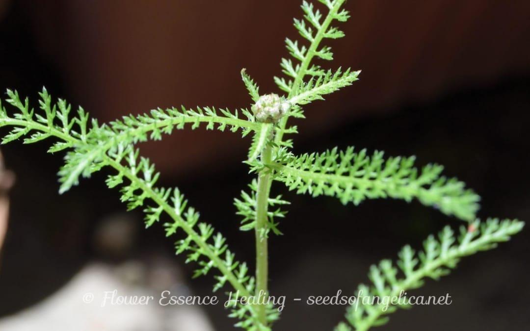 ヤロウ(Achillea millefolium)の生長
