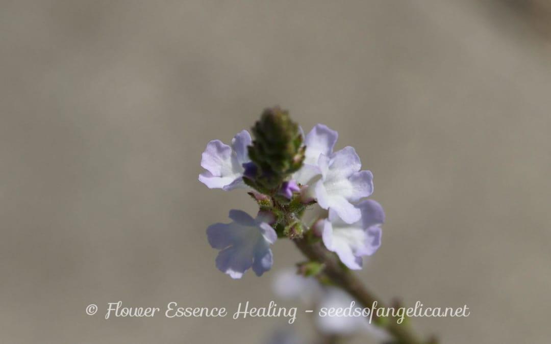 バーべイン(クマツヅラ)の花