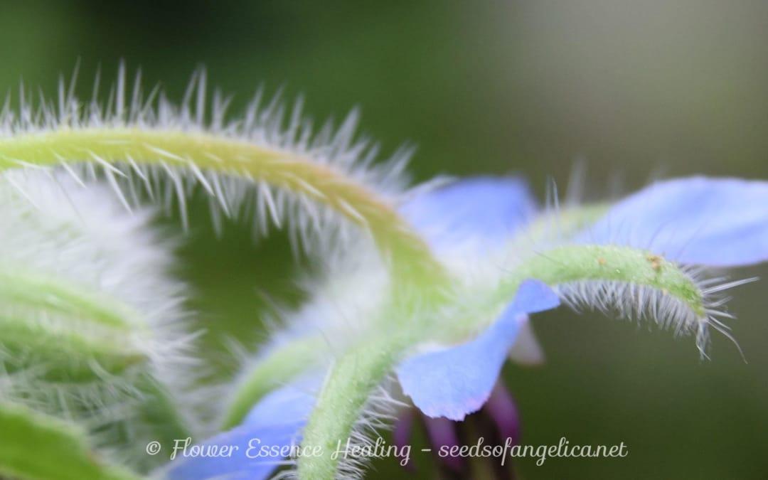 ボラージュ(Borago officinalis) の花
