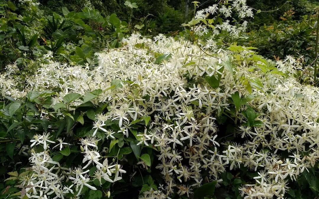 バッチ医師が最初につくったフラワーレメディと日本の植物