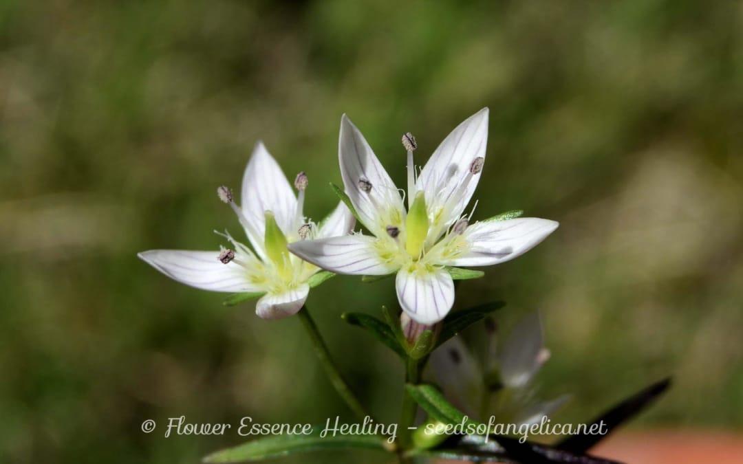 観察中のリンドウ科の植物 – 5 (センブリ)