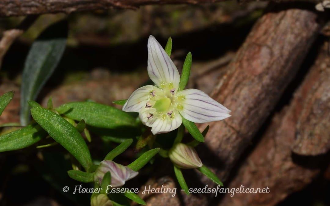センブリの観察 – 6 (自生地のセンブリの花)