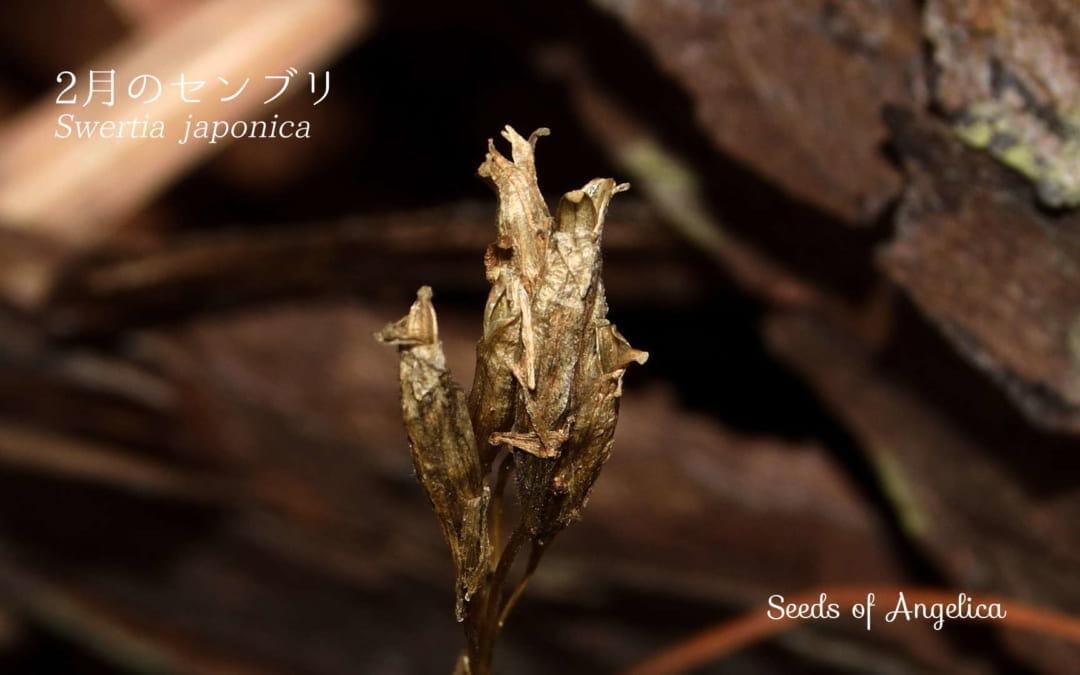 リンドウ科のセンブリ(Swertia japonica)、その形の変化