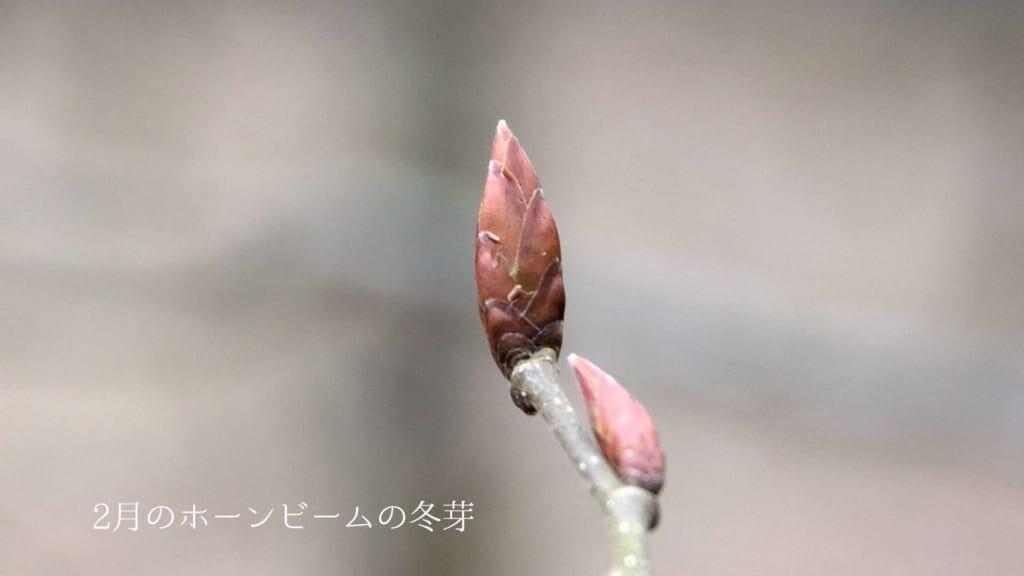 2月のホーンビームの冬芽