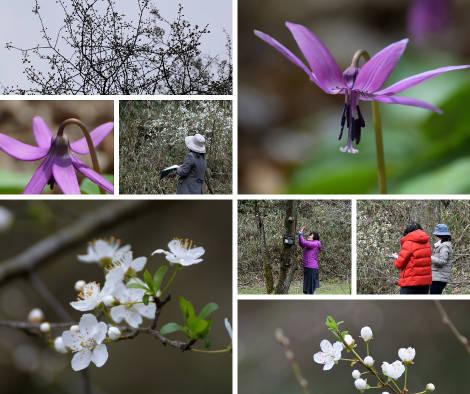 「チェリープラムとカタクリの花」植物観察会