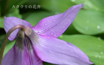 カタクリの花が咲き始めました
