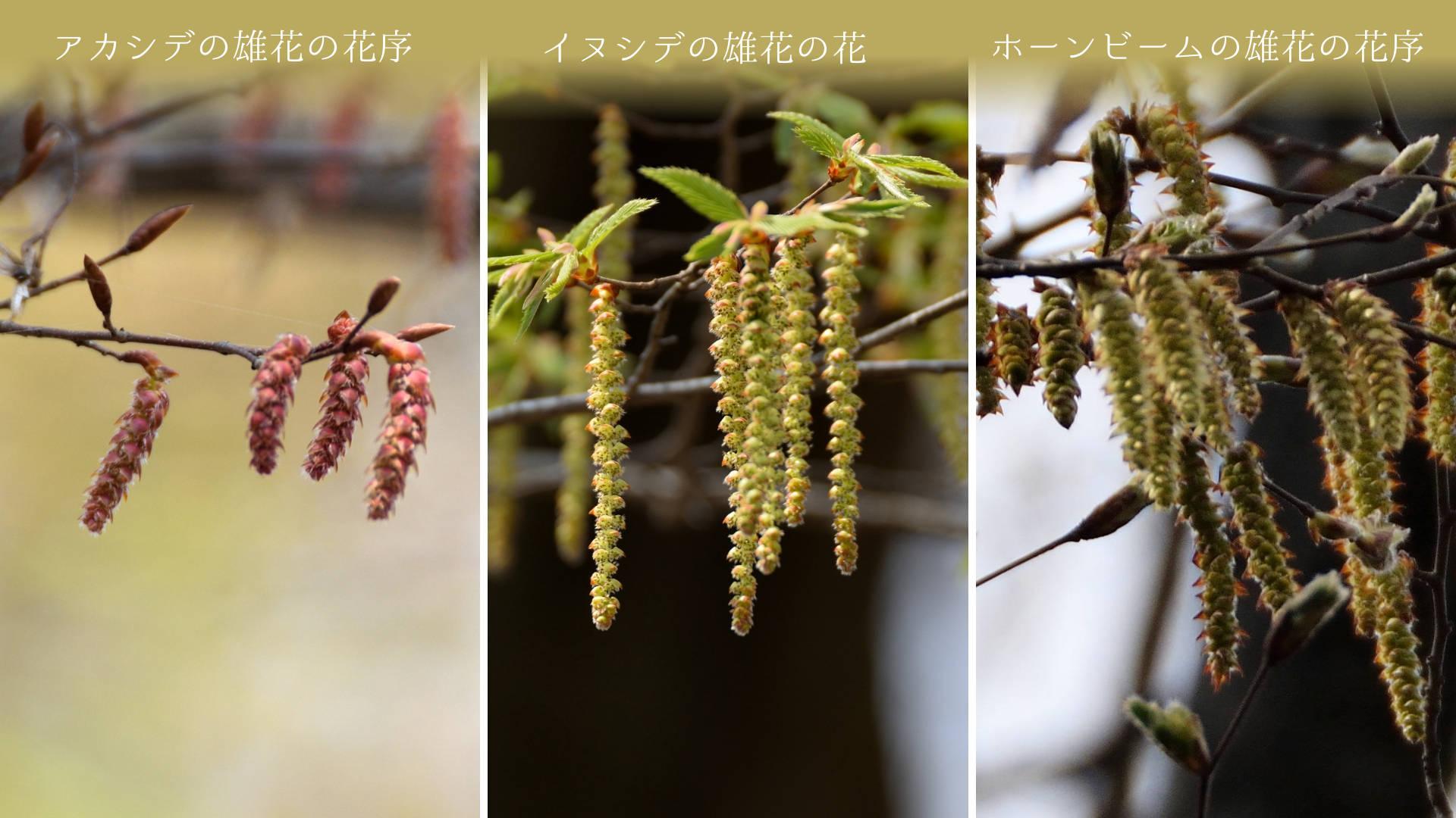 ホーンビームの雄花花序