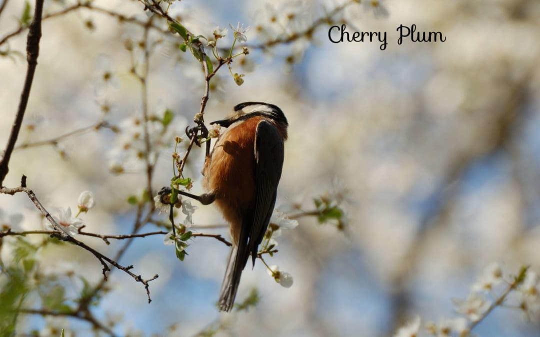 「チェリープラムとカタクリの花」植物観察会の感想-2