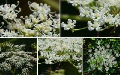トウキ(Angelica acutiloba)の花@牧野植物園
