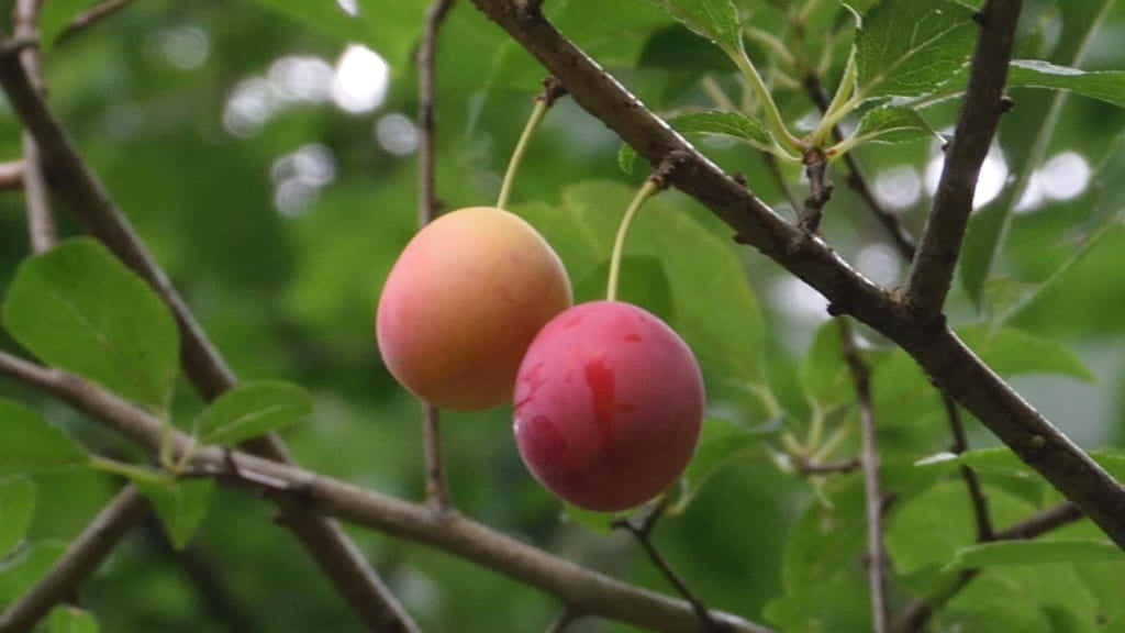 チェリープラムの果実