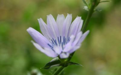 今朝のチコリの花