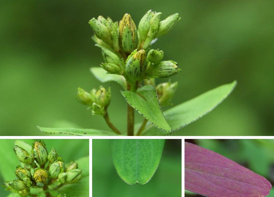 フラワーエッセンスの作用と植物観察
