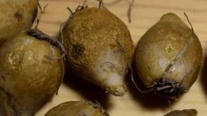 スターオブベツレヘムの球根