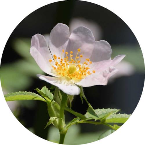 ワイルドローズの花