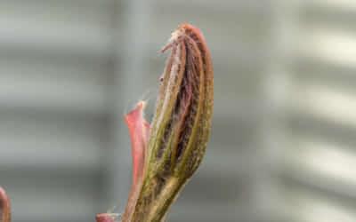 トチノキ(ホワイトチェスナットの近縁種)の新芽の展開