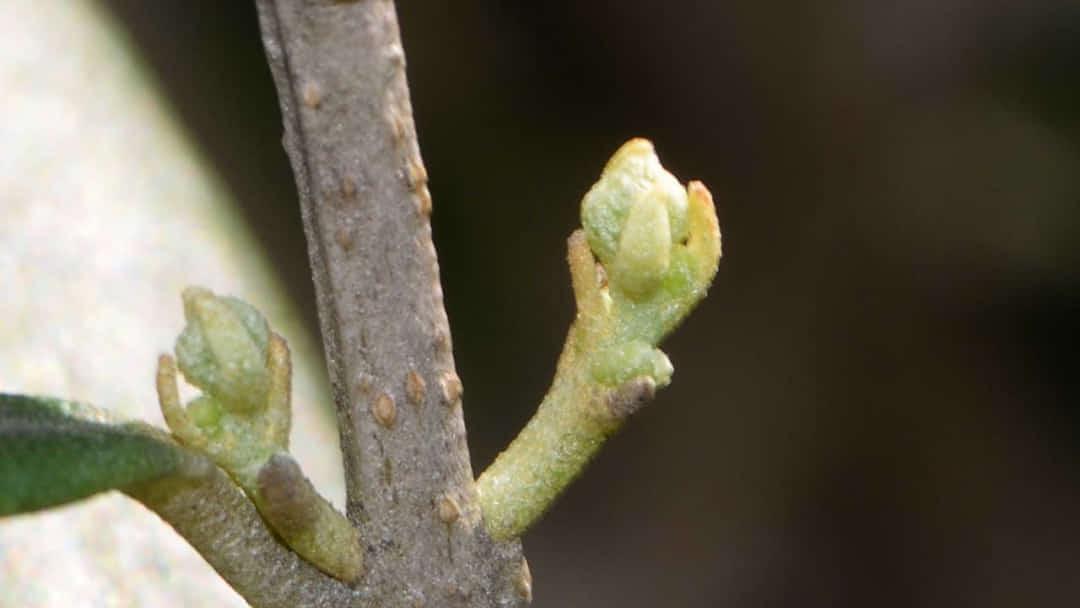 オリーブの花芽