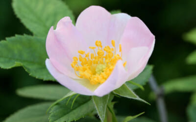 ワイルドローズの開花