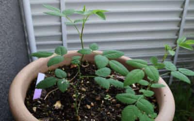 ベランダの鉢に芽吹いた植物