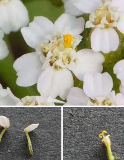ヤロウの舌状花と筒状花