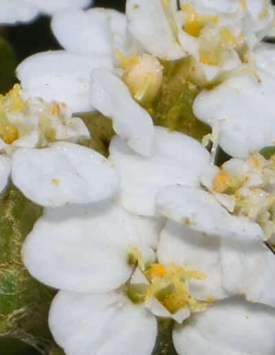 ヤロウ(ヤロー)の花