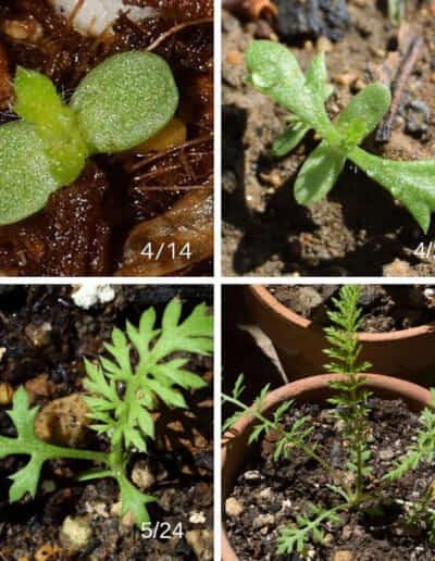 ヤロウ(ヤロー)の発芽と成長