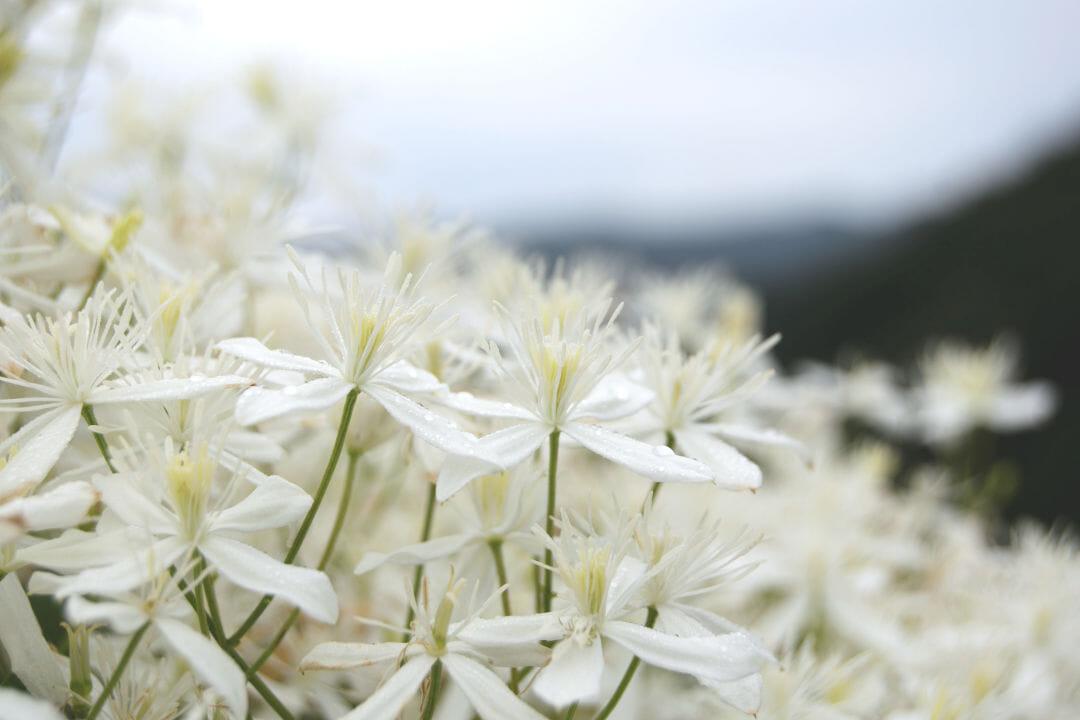 里山の植物:センニンソウ(クレマティスの類縁種)
