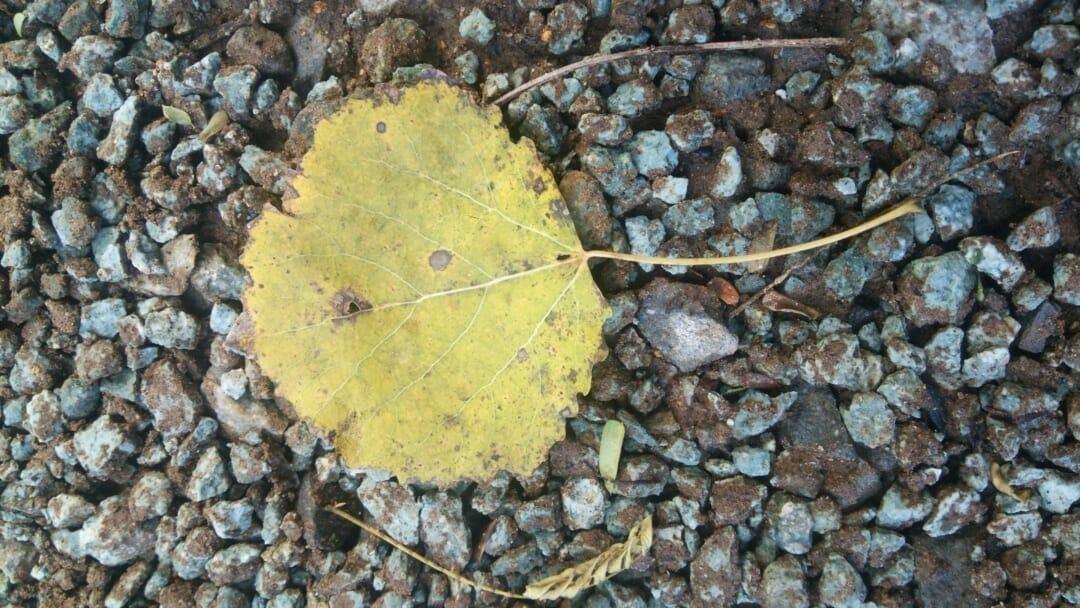アスペン (ヨーロッパヤマナラシ) の葉