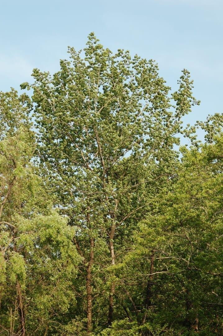 アスペン (ヨーロッパヤマナラシ)