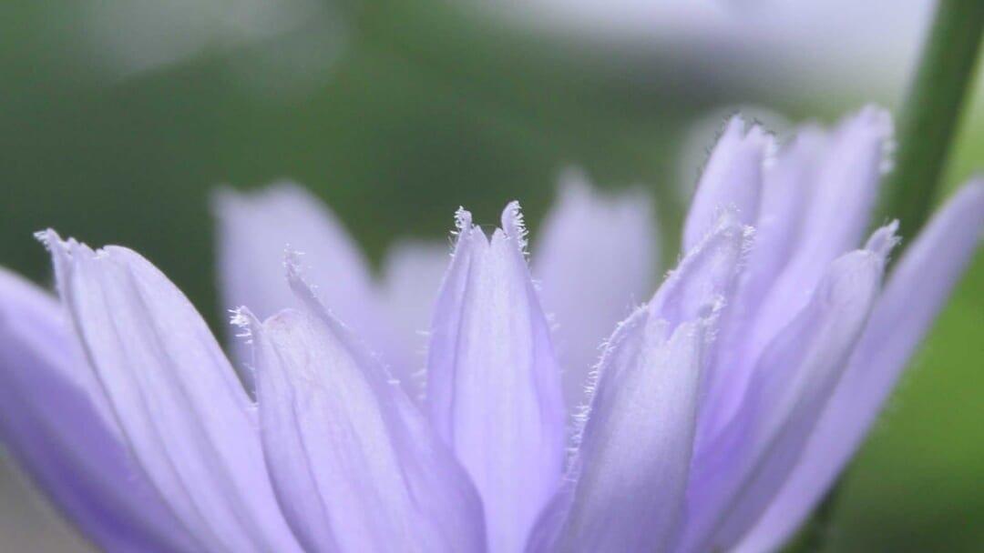 チコリの花弁