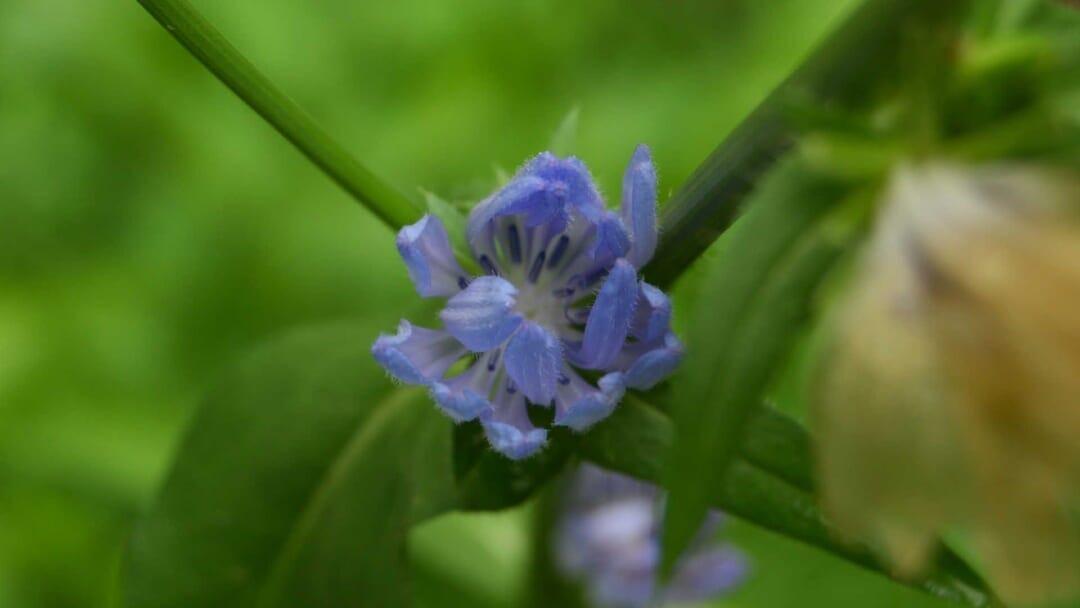 チコリの開花